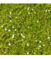 Úrazník šídlovitý - Sagina subulata - semena - 0,01 gr