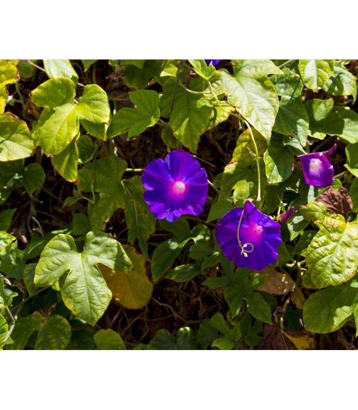 Povíjnice nachová Morning Glory - Ipomoea purpurea - semena - 25 ks