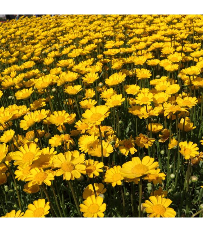 Kopretina zlatožlutá nízká - Chrysanthemum multicaule - semena - 0,4 gr