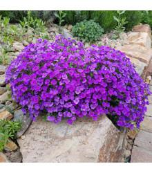 Tařička zahradní fialová - Aubrieta hybrida - semena - 200 ks