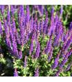 Šalvěj hajní Blue Queen - Salvia nemorosa - semena - 50 ks