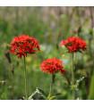 Kohoutek chalcedonský - Lychnis chalcedonica - semena - 20 ks
