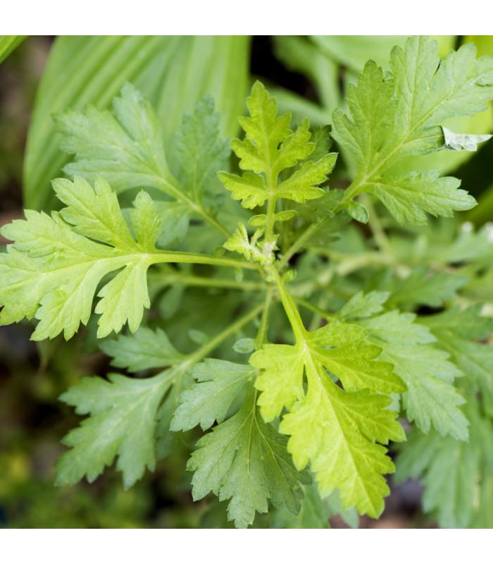 Pelyněk roční - Artemisia annua - semena - 0,02 g