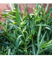 Pelyněk kozalec - Artemisis dracunculus - semena - 500 ks