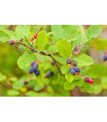 Rozinkový strom - Amelanchier alnifolia - prodej semen - 7 ks
