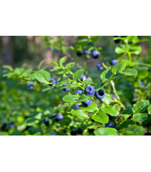 Borůvka černá - Vaccinium myrtillus - semena - 7 ks