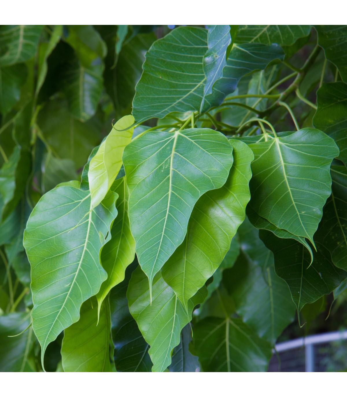 Fíkovník posvátný - Ficus religiosa - semena - 5 ks
