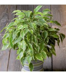 Fíkovník drobnolistý - Ficus benjamina - semena - 4 ks