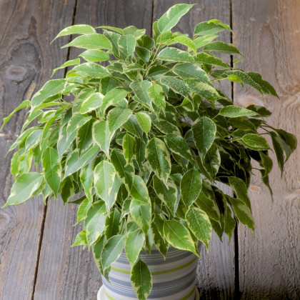 Fíkus Benjamín - Ficus benjamina - semena - 4 ks