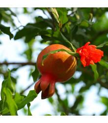 Granátové jablko - Punica granatum - semena granátového jablka - 5 ks
