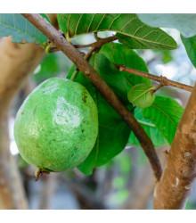 Guave - Psidium guajava - semena - 4 ks
