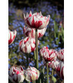 Tulipán - Carnaval de Nice - cibule tulipánů - prodej cibulovin - 3 ks