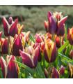 Cibulky tulipánů - tulipán Gavota - 3 ks