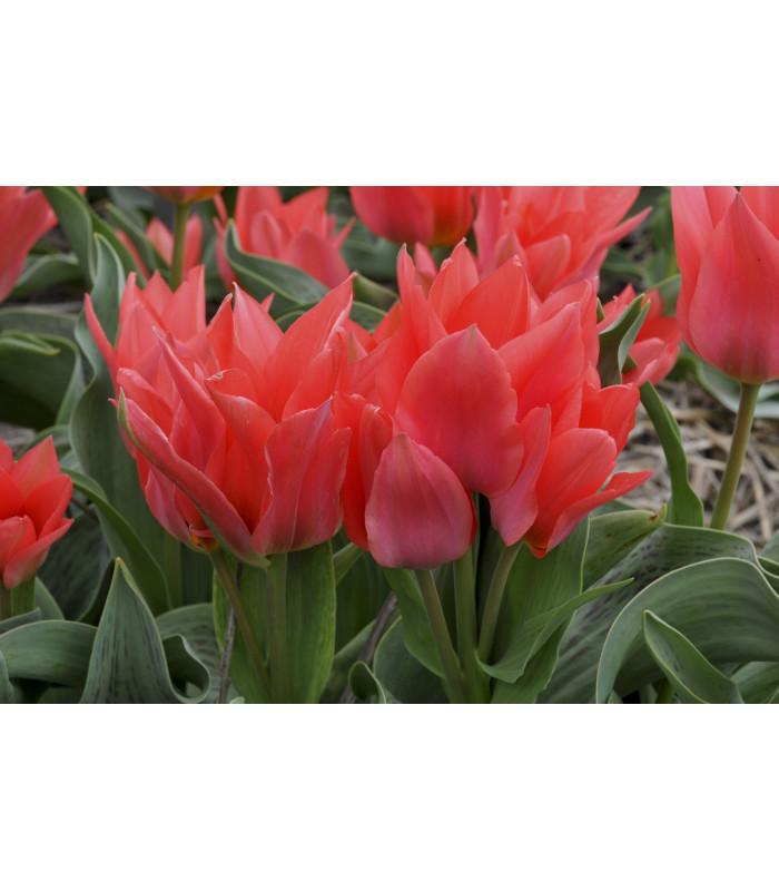 Cibulky tulipánů - Toronto - tulipány na prodej - 3 ks