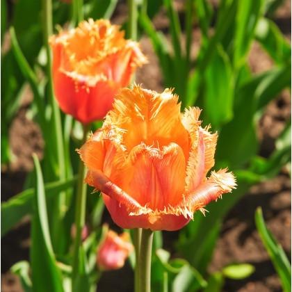 Tulipán Lambada - prodej holandských tulipánů - 3 ks