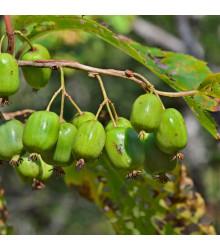 Minikiwi - Actinidia arguta - semena - 5 ks