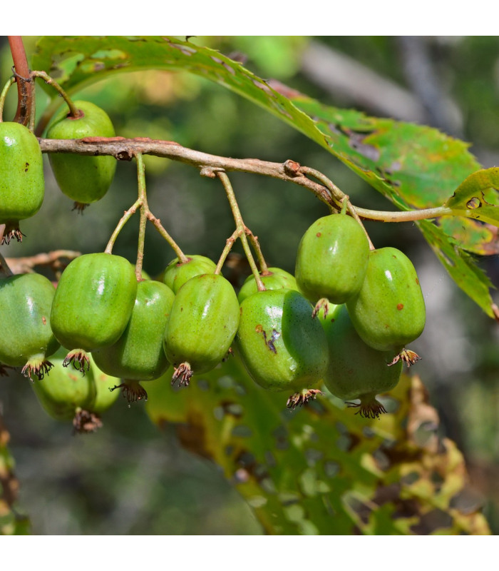 Minikiwi - Actinidia arguta - prodej semen - 5 ks