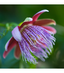 Mučenka maliformis - Passiflora maliformis - semena - 4 ks