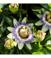 Mučenka modrá - Passiflora caerulea - semena mučenky - 5 ks