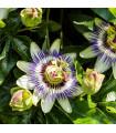 Mučenka modrá - Passiflora caerulea - semena - 5 ks