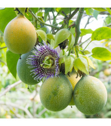 Mučenka pruhovaná - Passiflora ligularis - semena mučenky - 4 ks
