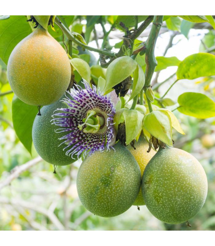 Mučenka pruhovaná - Passiflora ligularis - semena- 4 ks