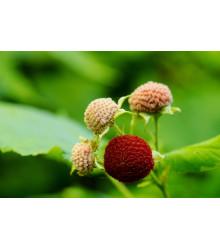 Ostružiník nutkajský - Rubus Parviflorus - semena 5 ks