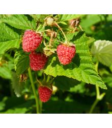 Ostružiník Maliník - Rubus Leucodermis- semena - 5 ks