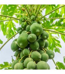 More about Papaya červená - Carica papaya - semena - 5 ks