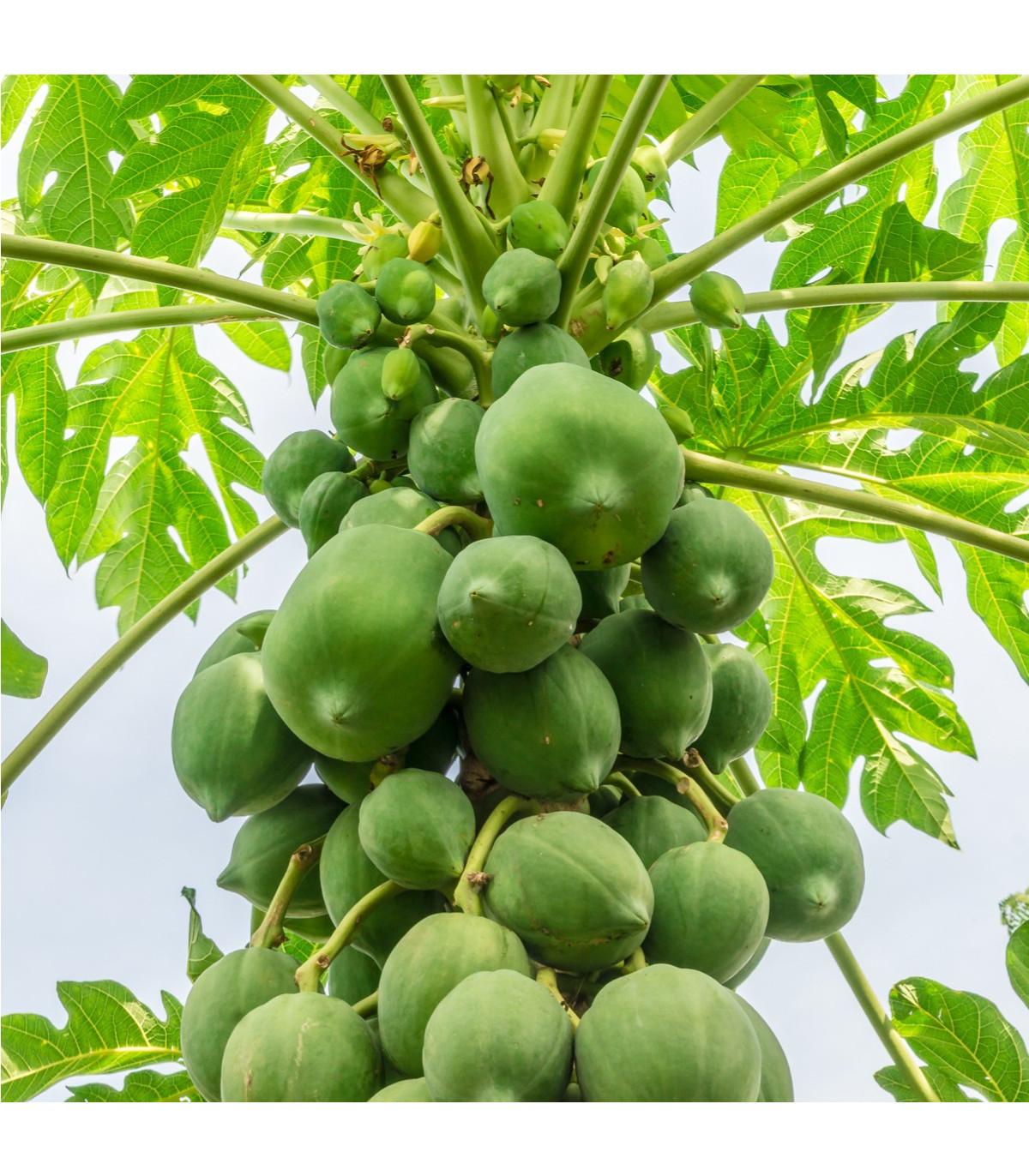 Papaya červená - Carica papaya - semena - 5 ks