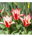 Cibulky tulipánů - tulipán Pinocchio - 3 ks