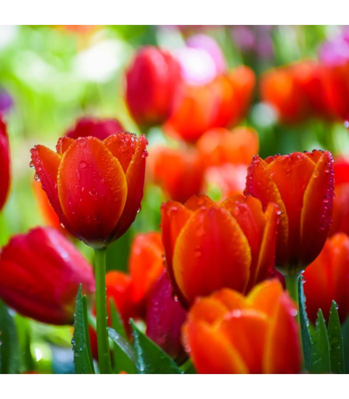 Cibulky tulipánů - tulipán červený - Apeldoorn - 3 ks