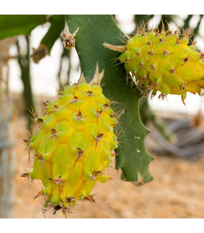 Pithaya žlutá - Selenicereus megalanthus -semena- 4 ks