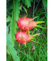 Pithaya červená - Hylocereus costaricensis - semena - 4 ks