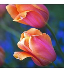 Tulipán Dordogne - Tulipa Dordogne - cibuloviny - 3 ks