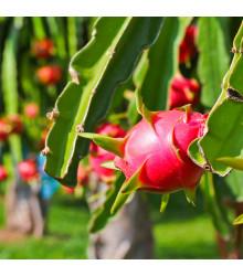 More about Pithaya Dračí ovoce - Hylocereus undatus - semena - 4 ks