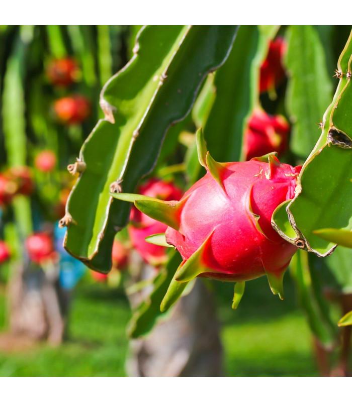 Pithaya Dračí ovoce - Hylocereus undatus - semena - 4 ks