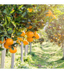 Dárkový balíček semen citrusů - zdarma dárkové balení