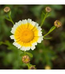 Chryzantéma jedlá - Chrysanthemum coronarium - semena - 450 ks