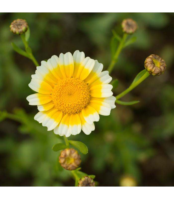 Chryzantéma jedlá - Chrysanthemum coronarium - semena - 0,9 g