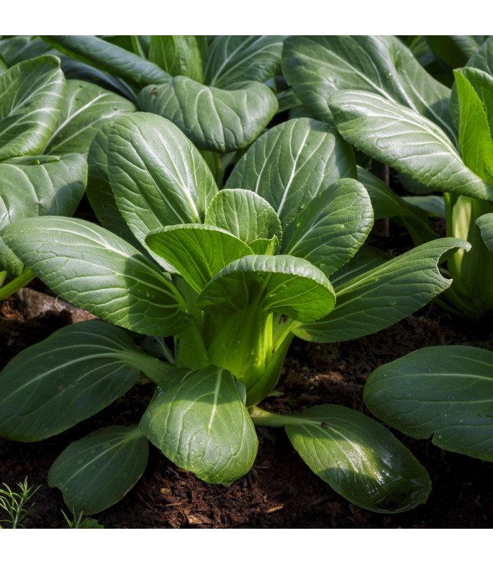Pak Choi Hanakan F1-čínské zelí - Brassica rapa var rosularis - semena - 0,2 g