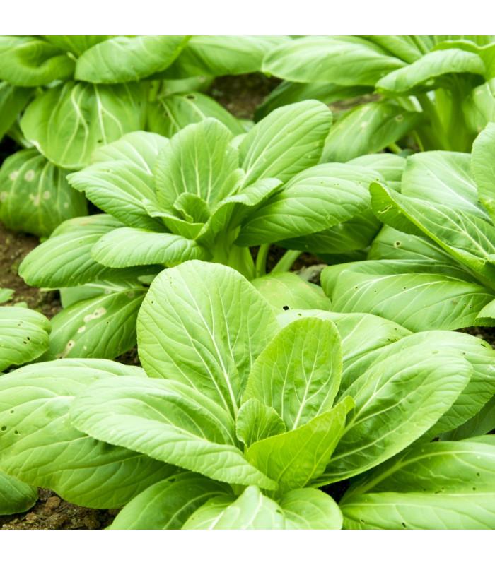 Choi Sum čínské zelí - Brassica chinensis - semena - 0,2 gr