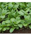 Zelená hořčice Komatsuna - Brassica rapa var. komatsuna - semena - 7 ks