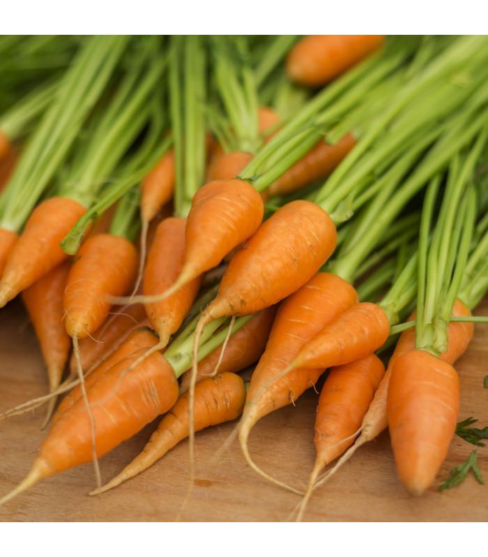 Mrkev Chantenay - Daucus carota - semena - 7 ks
