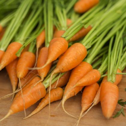 Mrkev Chantenay - Daucus carota - semena -500 ks