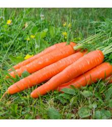 Mrkev F1 Ingot - Daucus carota - semena - 50 ks