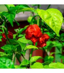 Chilli Carolina Reaper (nejpálivější chilli) - Capsicum Chinense - semena - 5 ks