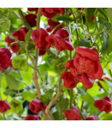 Chilli papričky Bishops Crown - Capsicum baccatum - semena - 6 ks