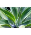 Agáve - Agave bracteosa - semena Agáve - 10 ks