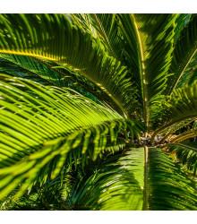 Cykas Zamia floridana - Keják celolistý - semena - 2 ks